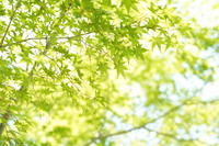 「肴はいらない。-青もみじ-」 - ほぼ京都人の密やかな眺め