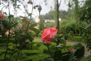 グラナダのバラ - 絵を描きながら