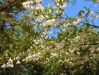 初夏の公園には白い花が似合う - 大屋地爵士のJAZZYな生活