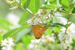アカシジミ・ウラゴマダラシジミ - 蝶・旅の友