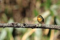 特定外来種ソウシチョウ - 野鳥公園
