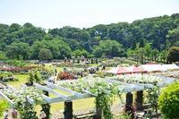 生田緑地ばら苑にてボランティアガイドをさせて頂きます。 - 元木はるみのバラとハーブのある暮らし・Salon de Roses