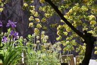 アルバムの整理     5月の庭アヤメ科の花 - 山庭居 ~庭に居ます~