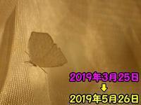 越冬ウラギンシジミ - 秩父の蝶