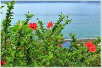 ハイビスカスとスズメダイ - ハチミツの海を渡る風の音