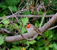 舳倉島遠征(その4)・・・ - 一期一会の野鳥たち