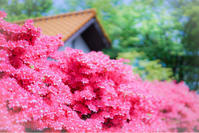 軽井沢は今ツツジが見頃を迎えています! - きれいの瞬間~写真で伝えるstory~