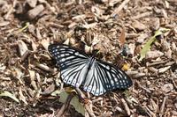 アカボシゴマダラ&ゴマダラチョウ(2019/05/25) - Sky Palace -butterfly garden- II