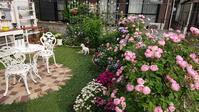 もうこれが裏庭の満開でしょう - Rose & Mary