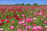 こうのす花まつりポピー祭り - 風景写真家 鐘ヶ江道彦のフォトブログ
