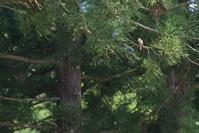 想い出巡り3【チゴモズ・ノジコ・クロツグミ・サンショウクイ】 - 鳥観日和