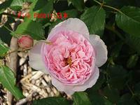 薔薇:ピンク ラビット 日本 - 写真で楽しんでます! スマホ画像!