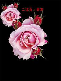 薔薇:こはる 日本 - 写真で楽しんでます! スマホ画像!