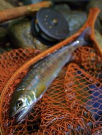 今季初釣果は、銀化アマゴと谿アマゴ、時々イワナ。 - terry's Photo Lounge <ffb2>