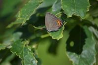 ベニモンカラスシジミ5月26日 - 超蝶