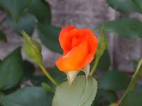 薔薇、みっつ - しらこばとWeblog