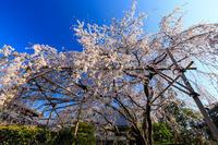 桜咲く京都2019西迎寺のしだれ桜 - 花景色-K.W.C. PhotoBlog