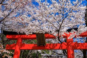 桜咲く京都2019 鳥居の合間に(竹中稲荷) - 花景色-K.W.C. PhotoBlog
