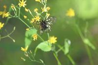 花と蝶 - SWAN
