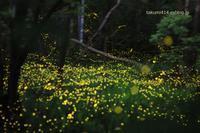 夏の夜に舞う光の妖精。ヒメボタル - 君がいた風景