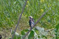 コムクドリ - ごっちの鳥日記