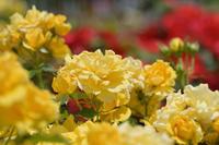 神代植物公園のバラ - kenのデジカメライフ