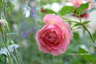 バラ時間~バラと宿根草に憧れて♪ - azumiの夢まど