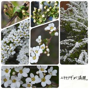【English】ユキヤナギ - ほかの国のコトバ ― 8言語つまみぐい