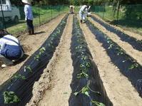 秋の園児たちのお芋ほり用、苗植え! - 柴まみママの大多喜便り