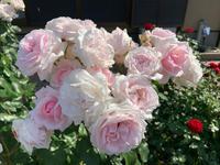 庭の薔薇 [2019/05/26] - 春&ナナと庭の薔薇