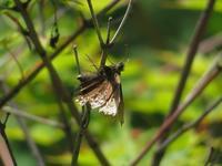 草臥れたミヤマセセリ - 秩父の蝶