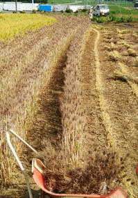 麦刈りスタート! - 農と自然のさんぽみち・やまだ農園日記