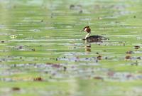カンムリカイツブリ - 北の野鳥たち