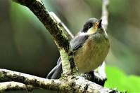 ヤマガラ親子の給餌風景 - 鳥と共に日々是好日