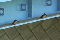 N川カワセミの近況報告。 - 小川の野鳥達