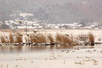 野鳥のいる冬景色 - SWAN