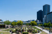 薔薇 2019 -1- 中之島公園 - ◆Akira's Candid Photography