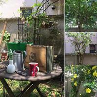 初夏の庭木の剪定雲南黄梅/ドウダンツツジ - Mayumin's rose garden&table 小さな秘密の花園で
