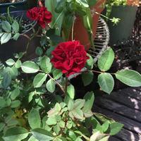 ミニバラプリンスメイアンディナ - Mayumin's rose garden&table 小さな秘密の花園で
