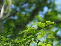 日陰で佇むベニモンカラス - 蝶超天国