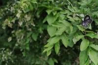 2019.5.22神奈川・イボタの花咲く頃ウラゴマダラシジミ2019.5.30 (記) - たかがヤマト、されどヤマト