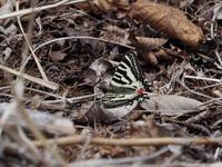 赤城でヒメギフチョウを撮影しました - コーヒー党の野鳥と自然 パート2