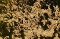 ネコジャラシみたいな雑草と猫 - 風見鶏日記