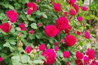薔薇の楽園、フラワーパークへ - 季節の風を追いかけて