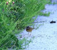 シロハラホオジロ♂:草影に潜む小鳥2019舳倉島⑪ - バード・アイ・ライフ