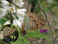ヤマウラギンヒョウモン - 秩父の蝶