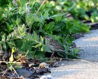 舳倉島遠征(その5)・・・ - 一期一会の野鳥たち