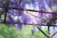 軽井沢はこれから藤が見ごろになります♪ - きれいの瞬間~写真で伝えるstory~