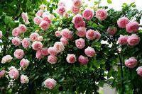 薔薇の庭パート2 - バラの花