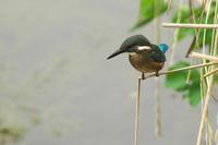 N川のカワセミ近況。 - 小川の野鳥達